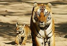 Bandhavgarh & Kanha